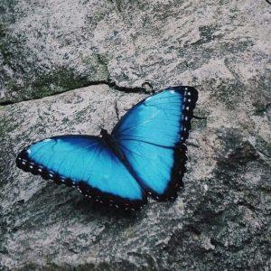 morpho butterfly puerto viejo costa rica